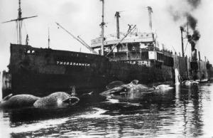 The floating factory Thorshammer, with rendering underway and at least six whales awaiting processing, undated. New Bedford Whaling Museum, Photo 2000.101.29.47