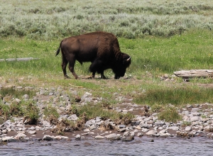 A wild buffalo in Yellowstone National Park. Photo by William Wyckoff.