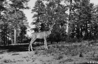 A western mule deer (Odocoileus hemionus), with its distinctive large ears, in Arizona's Kaibab National Forest, 1948. Photo courtesy of the U.S. Forest Service.