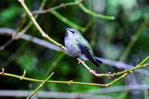 1_Annas Hummingbird_female_p#FCCB
